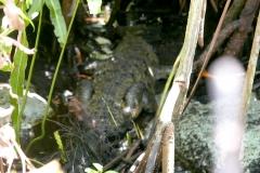 cenotes Tulum crocodile