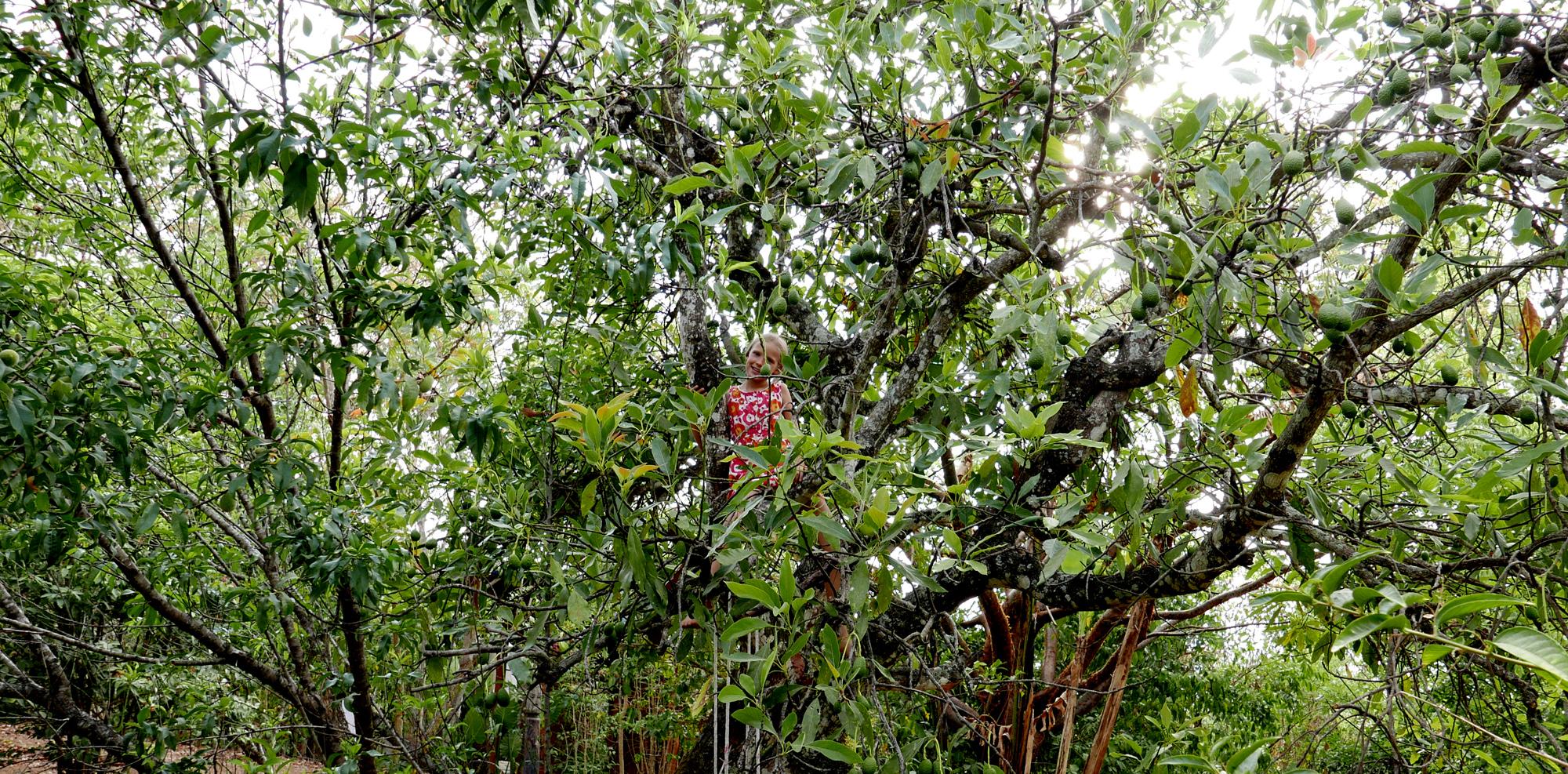 San Sebastian Mexico Anna on avocado tree