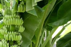 Kamalar Palace garden banana