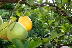 Nana Vida grapefruit