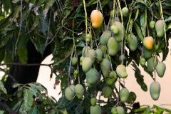 Nana Vida mango tree