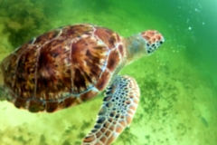 sea turtle with tulum diving and travel 1